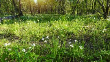Beautiful spring forest and flowers, snowdrops.