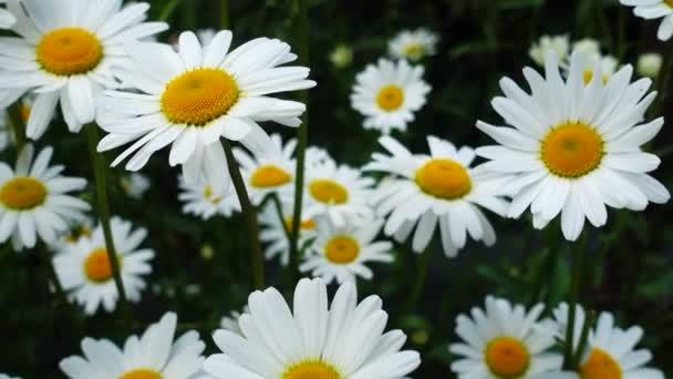 Beautiful chamomile flowers
