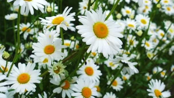 krásný heřmánkový květ