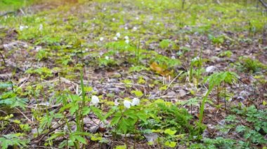 Beautiful first flowers in spring forest, snowdrops