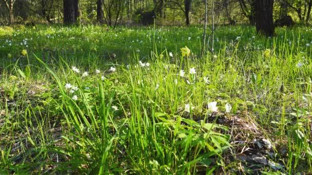 Bílé a žluté první květy v lese na jaře, sněženky