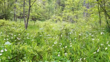 Calm morning in forest glade. Wild forest at beautiful morning