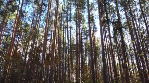Beautiful high pines on a wind in forest. Crane shot