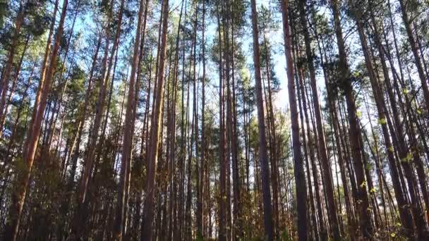 Krásné vysoké borovice na vítr v lese. Kamerový jeřáb