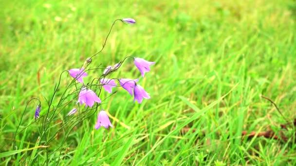 Beautiful summer field with blue flowers, bellflowers.