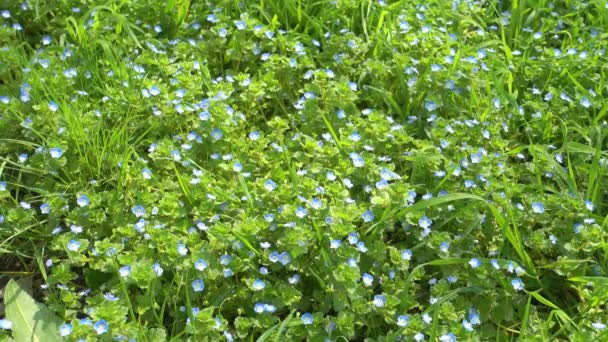 Beautiful small blue flowers and green grass, lawn.