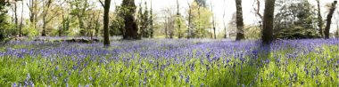 Bluebells in Wooded Glade