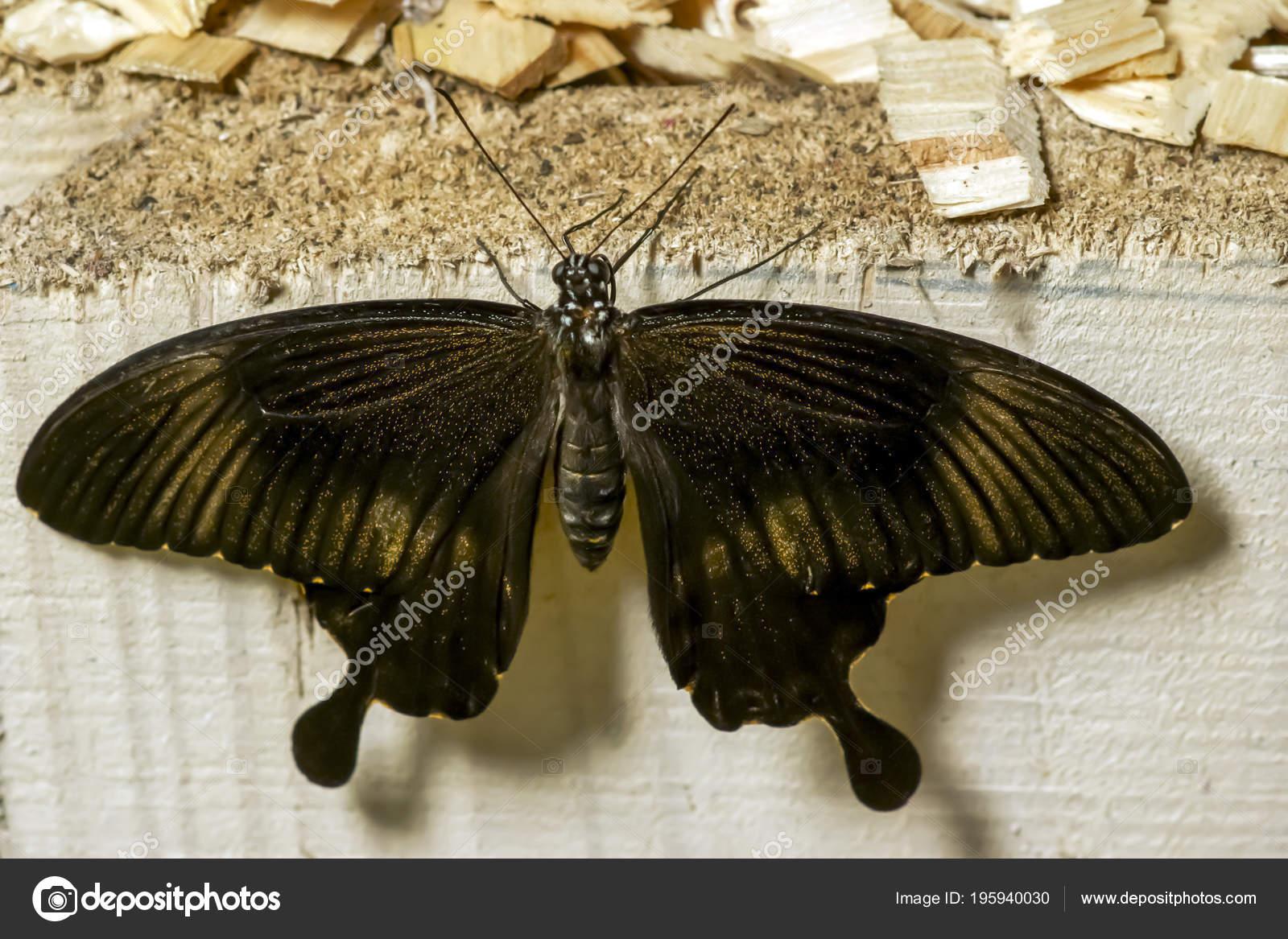 Owl Butterfly Caligo Eurilochus Beautiful Brown Butterfly Garden ...
