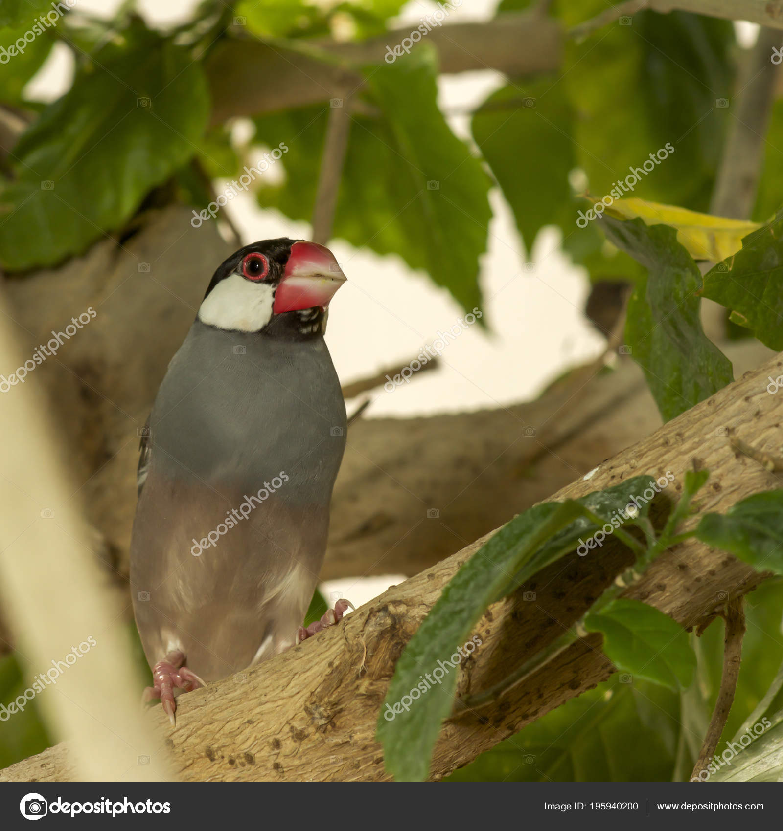 Java Sparrow Perching Branch Padda Oryzivora — Stock Photo
