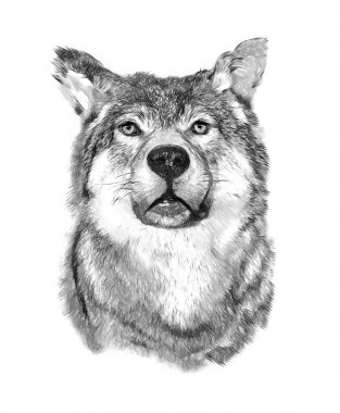 Wolf on white background. Illustration in draw, sketch style