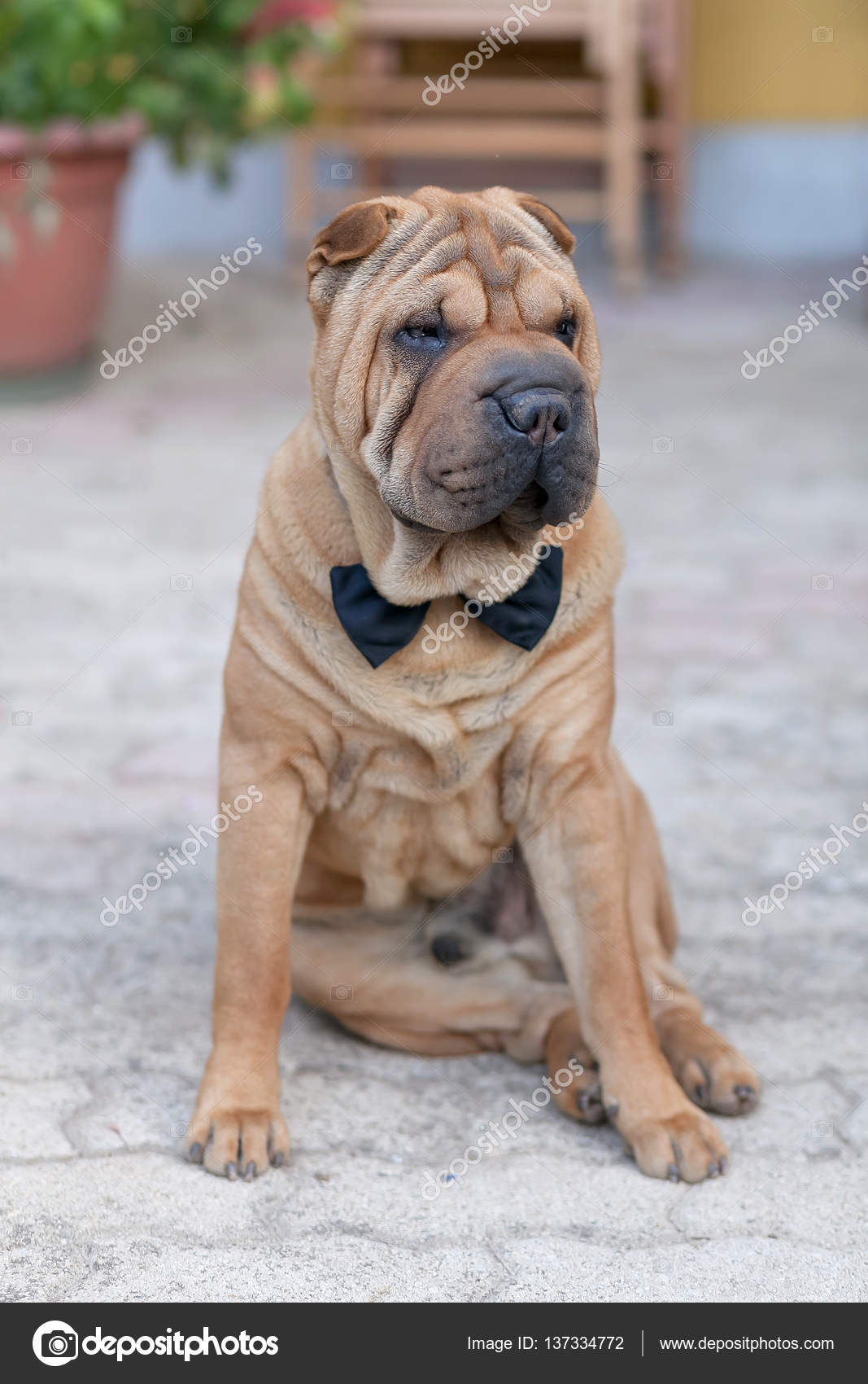 adulto shar pei — Foto Stock © talitha_it #137334772