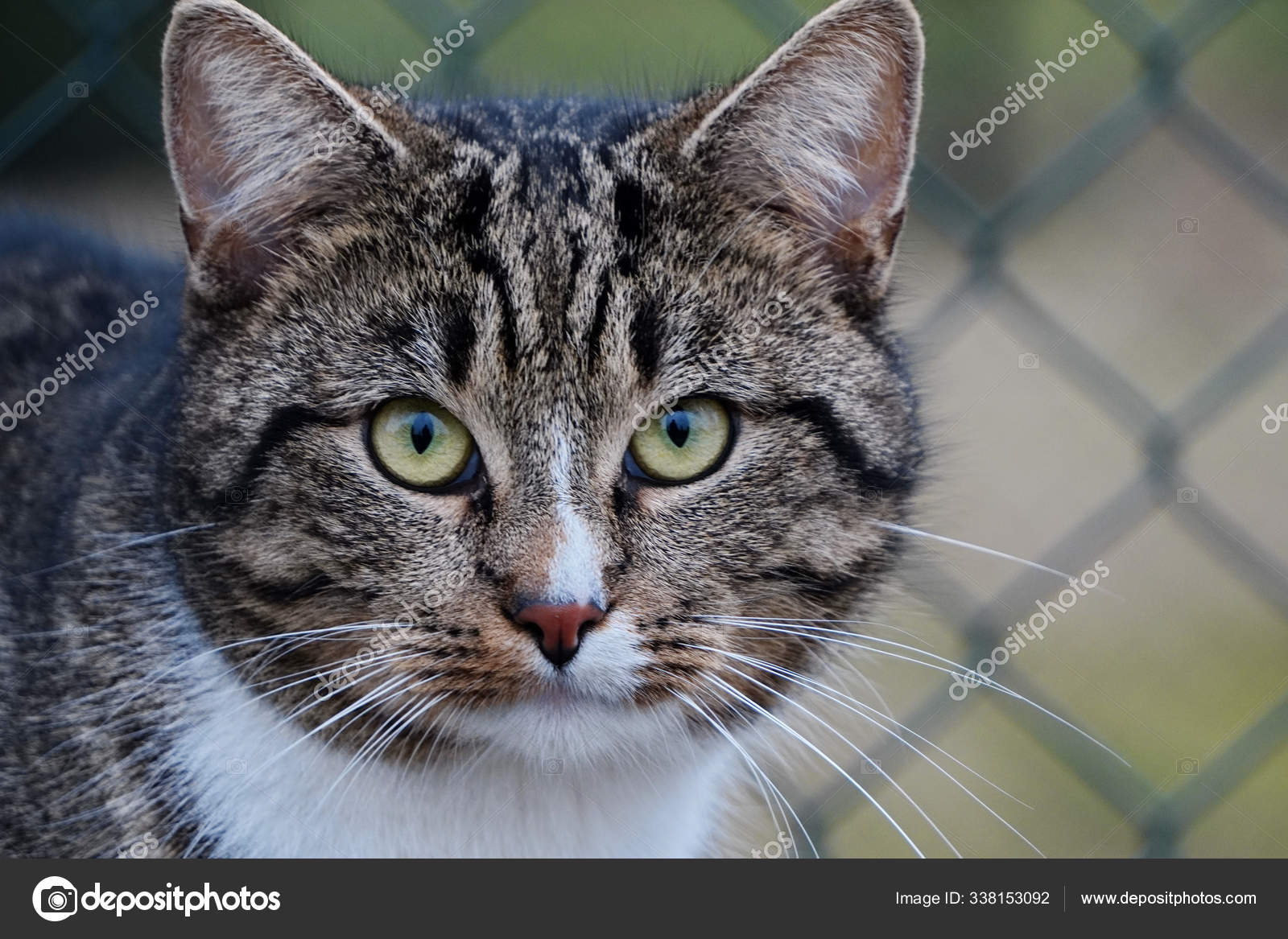 Head Of A Gray Tabby Cat With Green Eyes And A White Breast Clos Stock Photo C Sania01 338153092