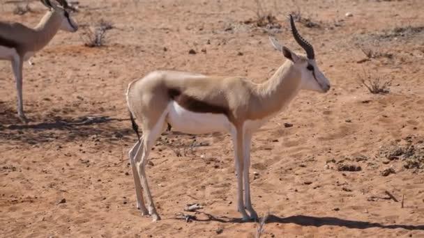 Springbok Antelopes Standing at Olifantsrus Waterhole in Etosha National Park, Namibia, Africa