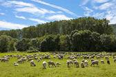 Fotografia gregge di pecore al pascolo nei prati verdi svizzeri