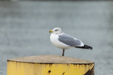 Seagull sitting on the river bank in winter
