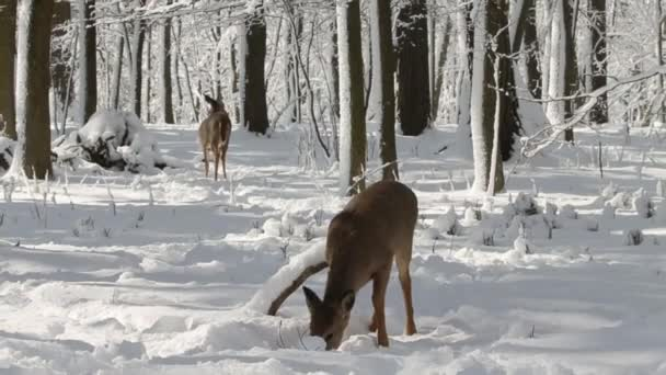Deer. White-tailed deer in Wisconsin state forest. A few white tailed deers in the snowy forest.