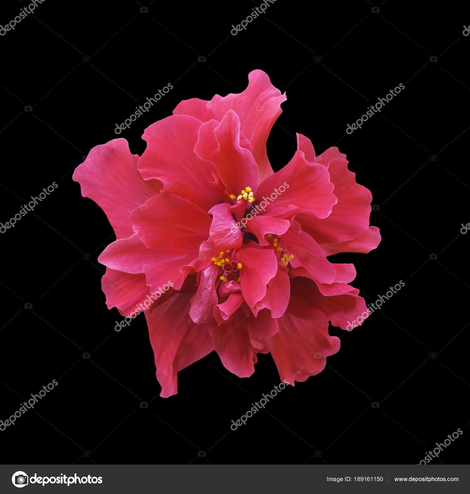 Red hibiscus flower isolated on black stock photo manusy 189161150 red hibiscus flower isolated on black stock photo izmirmasajfo