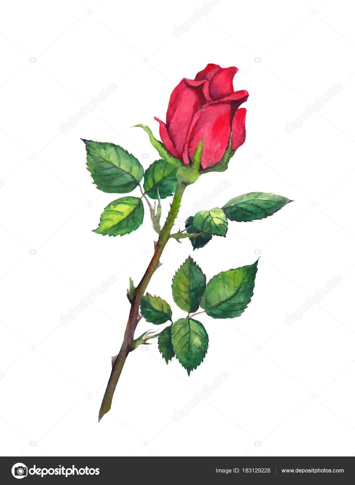 Bocciolo Di Rosa Rosso Con Foglie Un Fiore Alle Staminali
