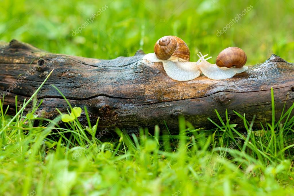 A pair of snails prepared for pairing.