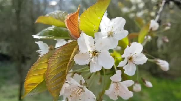 cherries blossoms in the foreground