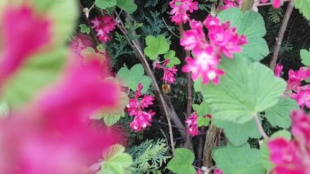 včela sbírá nektar z růžové květy