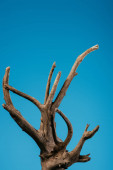 Fotografie wooden branch isolated on blue with copy space