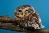 Photo cute wild owl on wooden branch isolated on blue