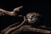 hnědá roztomilá divoká sova na dřevěné větvi izolované na černé