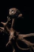 barna aranyos vad bagoly fából készült ág elszigetelt fekete