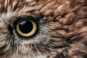 close up view of wild owl eye