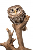 Photo cute wild owl on wooden branch isolated on white
