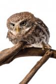 roztomilý divoký sova na dřevěné větvi izolované na bílém