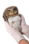 Photo partial view of veterinarian holding wild injured owl isolated on white