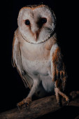 cute wild barn owl on wooden branch in dark isolated on black