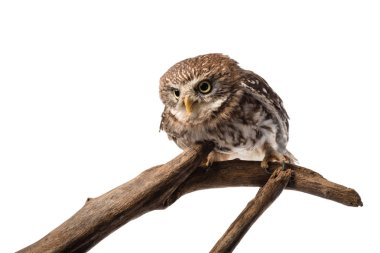 Cute wild owl on wooden branch isolated on white stock vector