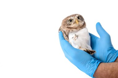Cropped view of veterinarian holding wild injured owl isolated on white stock vector