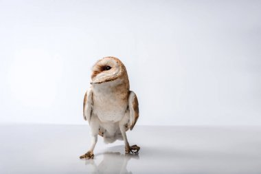 Beautiful wild barn owl isolated on white stock vector