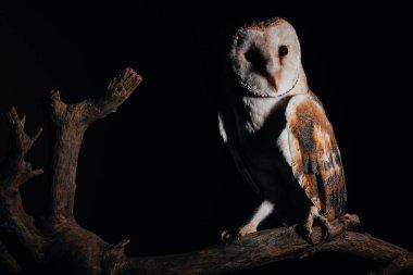 Cute wild barn owl on wooden branch in dark isolated on black stock vector
