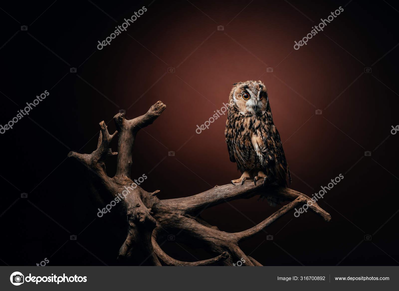 Симпатичная Дикая Сова Сидящая Деревянной Ветке Темном ...