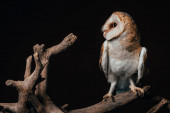 Photo cute wild barn owl on wooden branch isolated on black