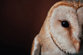 Photo cropped view of cute wild barn owl head on dark background