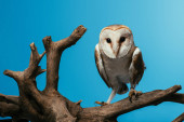 Photo fluffy wild barn owl on wooden branch isolated on blue