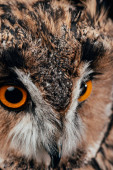 Fényképek közeli kilátás aranyos vad bagoly szájkosár
