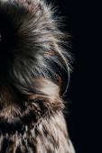 zblízka pohled na divoké sovy zobák izolované na černé
