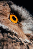 close up view of wild owl eye isolated on black