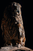 Photo cute wild owl sitting on wooden branch in dark isolated on black