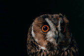 Photo cute wild owl muzzle isolated on black with copy space