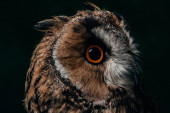 close up view of wild owl muzzle isolated on black