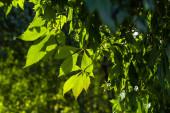 Közelkép a vadon termő szőlőlevelek napfényben