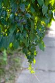 Zöld, vadon termő szőlőlevél bogyókkal és napfénnyel